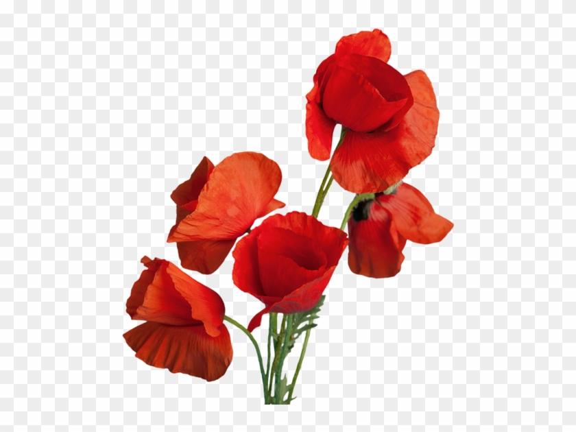 Red Poppy Flowers - Poppy #292162