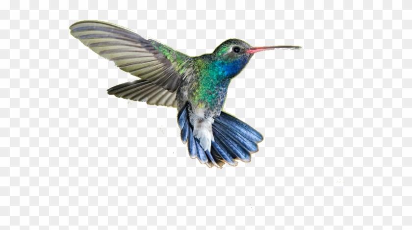 Hummingbird Png Transparent Picture - Hummingbird Png #292165