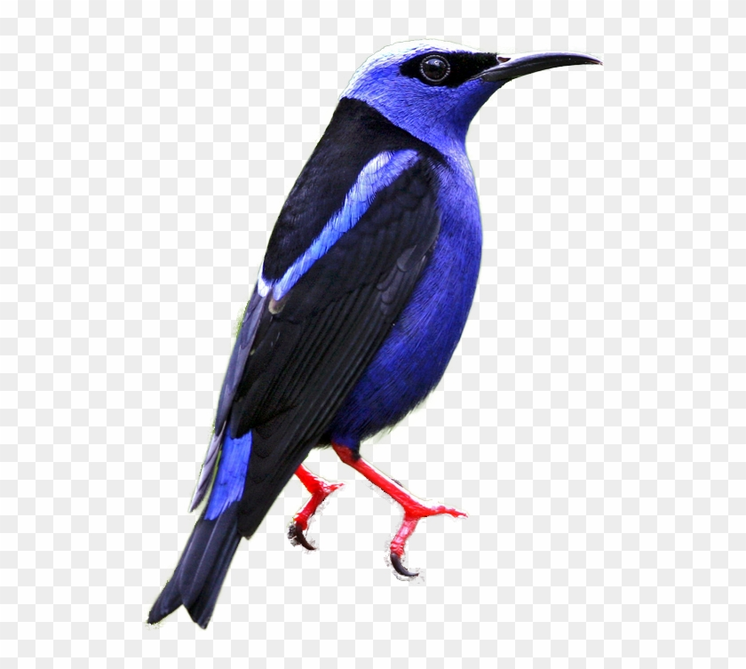 Red-legged Honeycreeper - Mountain Bluebird #292174