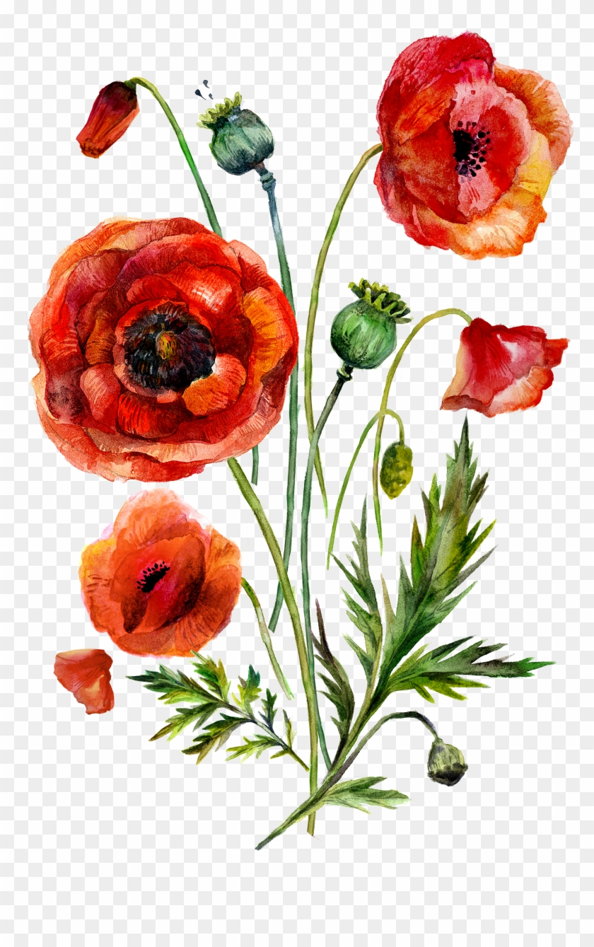 Watercolor Painting Common Poppy Illustration - Watercolor Painting Common Poppy Illustration #292243