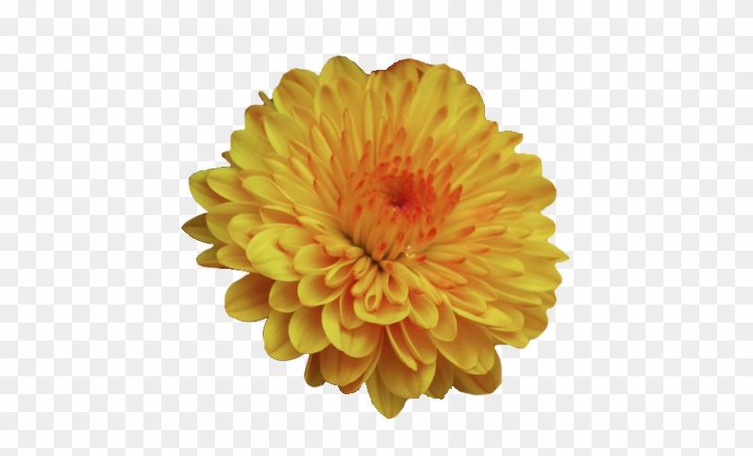 Transparent Flowers Garden Mum Dendranthema Flowers - Go Go Mango Scentsy #292411