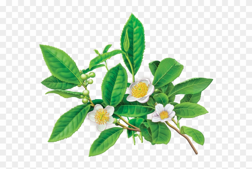 28 Collection Of Camellia Sinensis Drawing - Camellia Sinensis Green Tea #292428