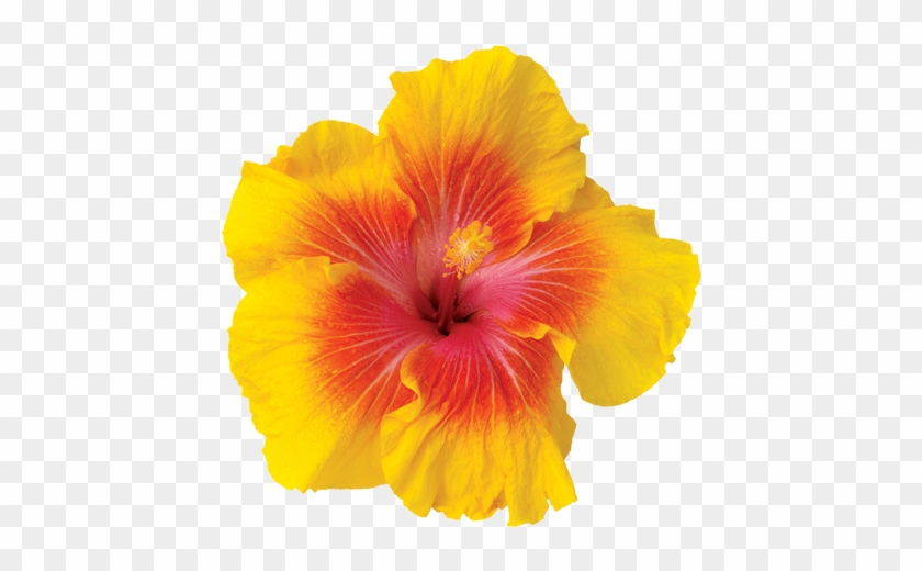 Gardens - Yellow Tropical Flowers Png #292434