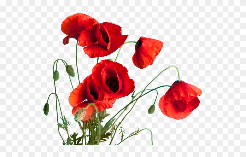 Red Poppy - Common Poppy #292506