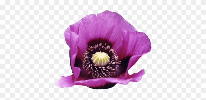 Opium Poppy - Tulasi Incense Cones - 15 Cones (opium) #292546