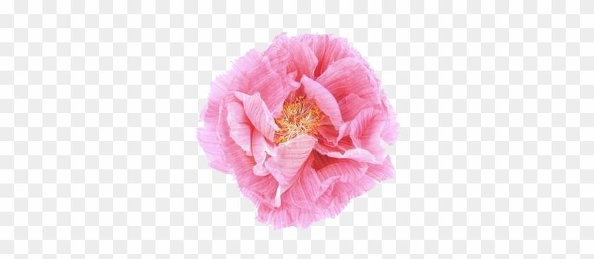 Poppy Flower Transparent Transparent Flowers Poppins-me - Poppy #292552