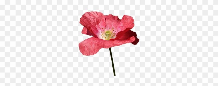 Poppy, Red, Flower, Spring, Red Flowers - Red Flower Illustration #292567