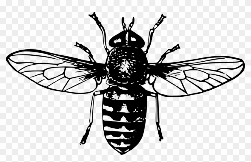 Animal Flies Fly Insect Png Image - Clip Art Honey Bee #293595