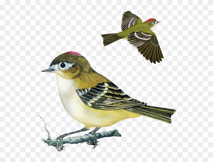 Tennessee Warbler, Yellow Rumped Warbler, Nashville - Rose Breasted Grosbeak #295013