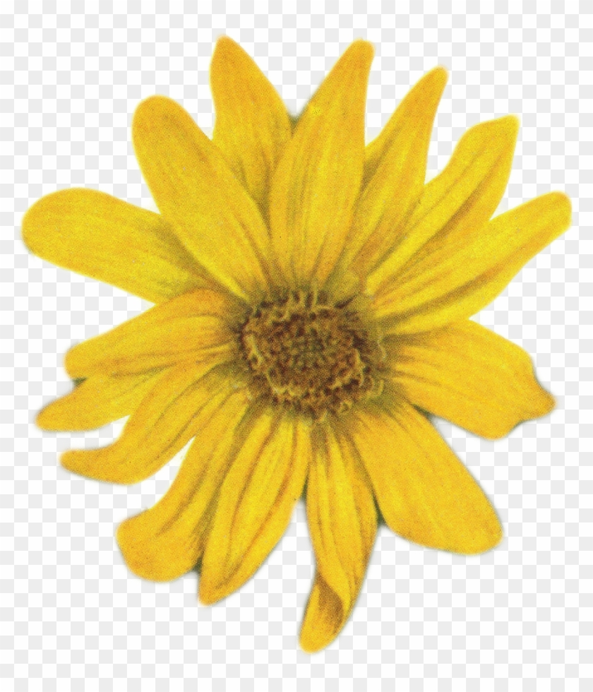 Sunflower Png Tumblr Www Imgkid Com The Image Kid Has - Yellow Flower On White Background #295931