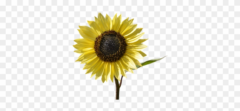 Sun Flower, Flower, Yellow Flower, Bloom - Yellow Flower #295936