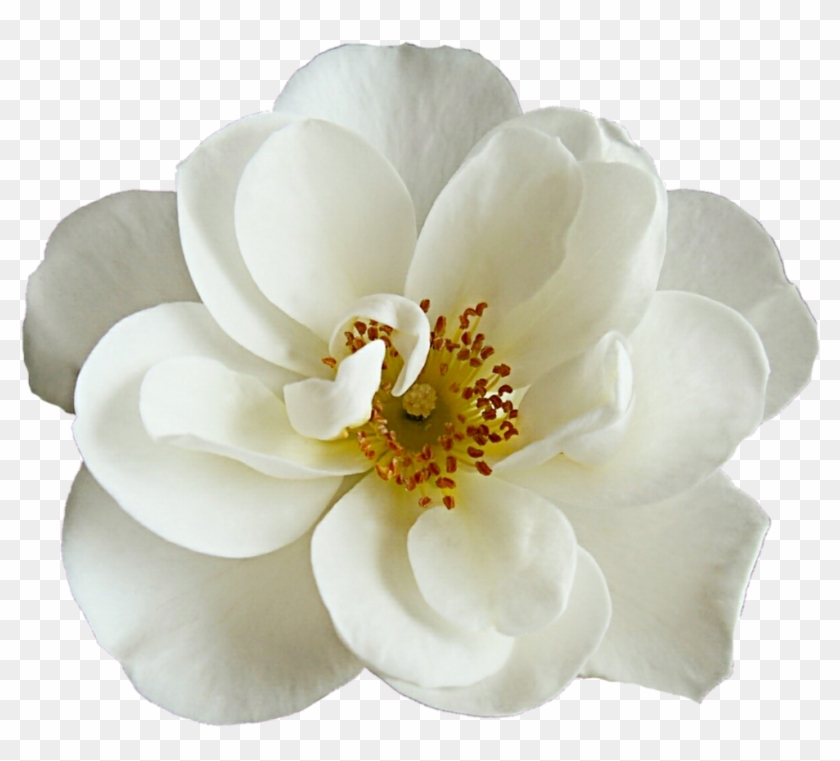 White dogwood rose by jeanicebartzen27 d8mh6yu dogwood flower png white dogwood rose by jeanicebartzen27 d8mh6yu dogwood flower png transparent mightylinksfo