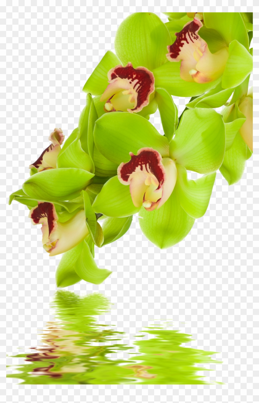 Png Beautiful Orchids Flower Cypripedium Free