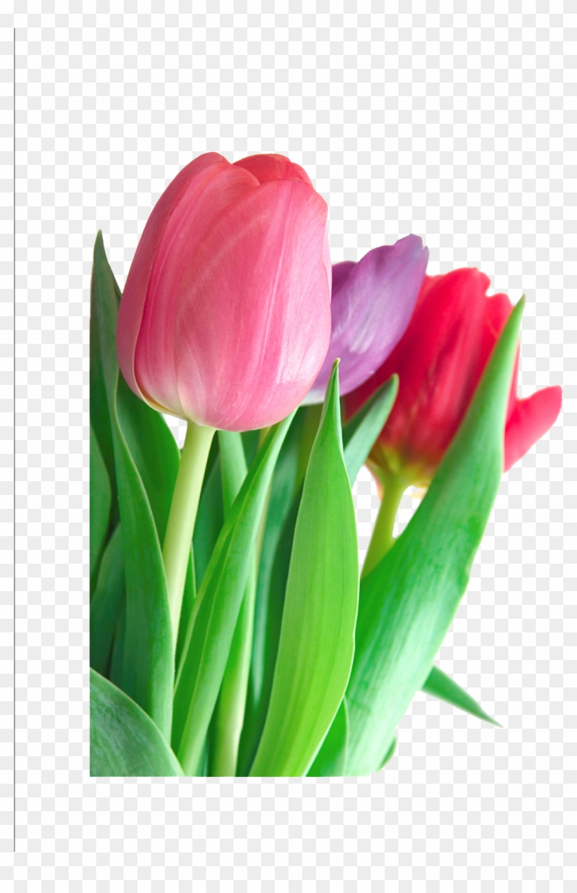 Tulip Flower Pink Clip Art Different Pictures Of Flowers And Their