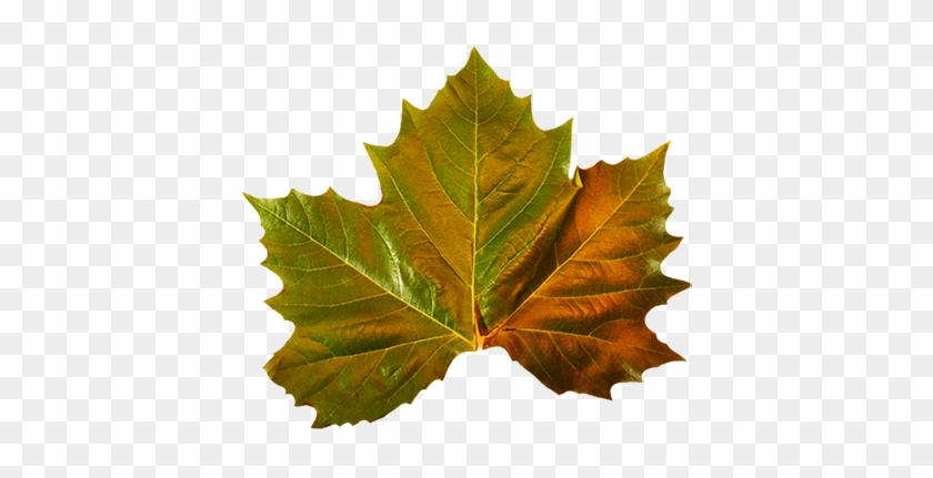 Several Fall Leaves Clipart - Maple Leaf #303034