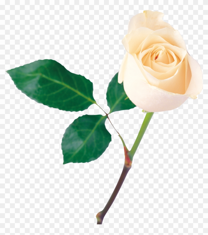 White Rose Png Image Flower White Rose Png Picture One White Rose