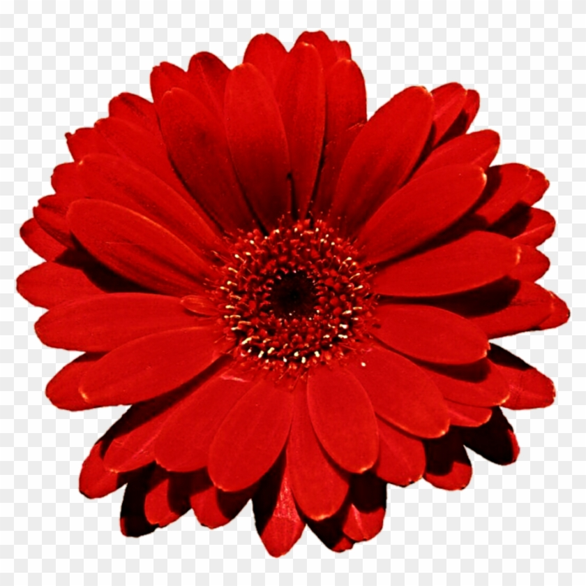 Red carpet gerbera daisy clipart red flower white background red carpet gerbera daisy clipart red flower white background mightylinksfo