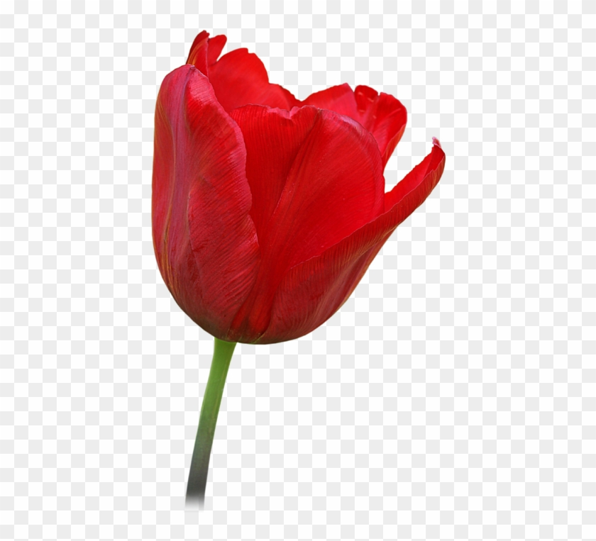 Click And Drag To Re-position The Image, If Desired - Open Tulip Flower #310448