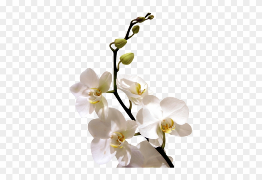 Arana Альбом «clipart / Clipart5 / Orchid» На Яндекс - Good Morning With White Orchid Flowers #311112