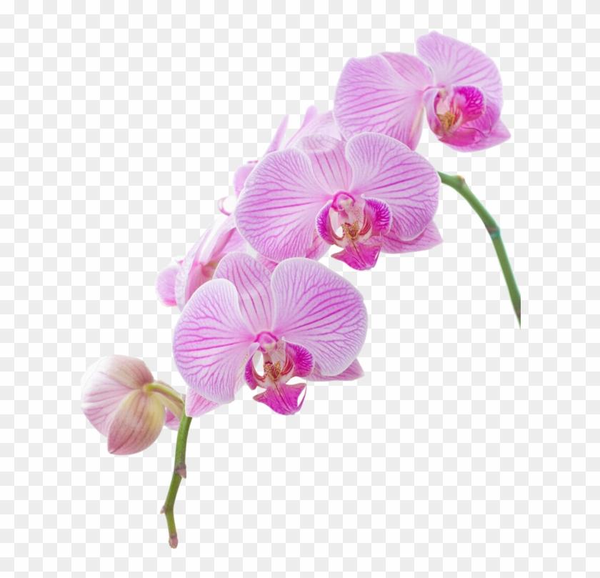 Explora Festivales, Clipart De Flor, ¡y Mucho Más - High Resolution Orchid #313348