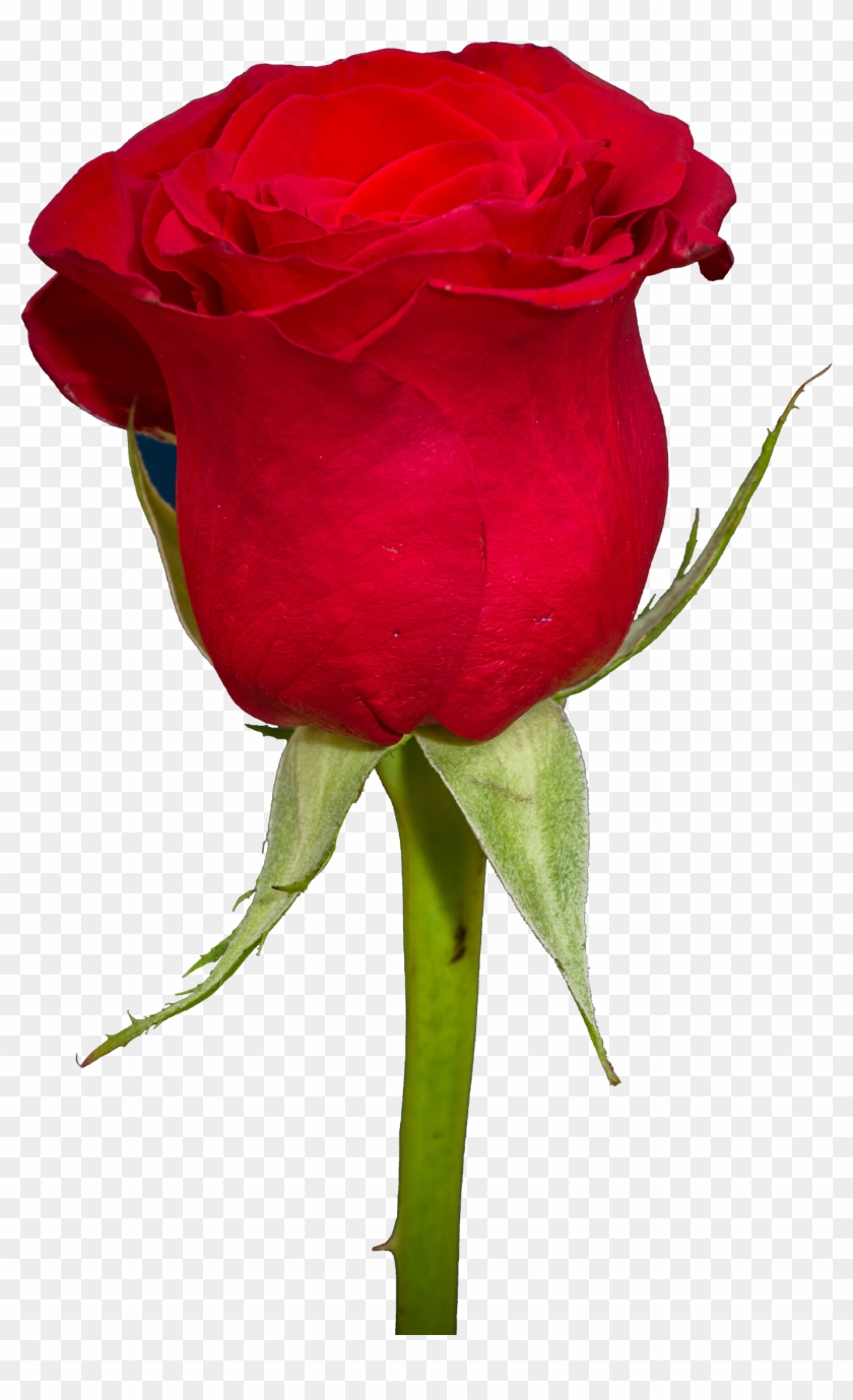 Free Rose Png Transparent Image - Red Rose Png Hd #316430