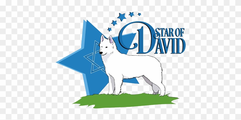Star Of David Kennel, Star Of David Dogs, White Swiss - German Shepherd #321409