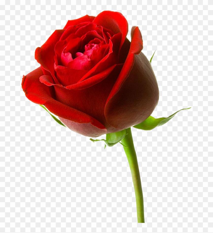 Gambar Bunga Mawar Merah Besar Red Rose Hd 3d Free Transparent