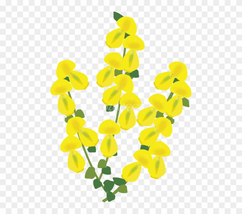 金雀枝 花の無料イラスト 春 4月 5月 Scotch Broom Free Transparent Png Clipart Images Download
