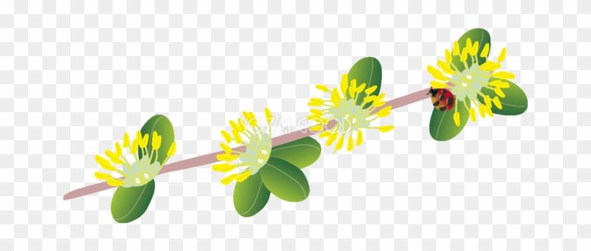 黄楊 の花とてんとう虫の無料イラスト 春34月63578 Buxus Microphylla