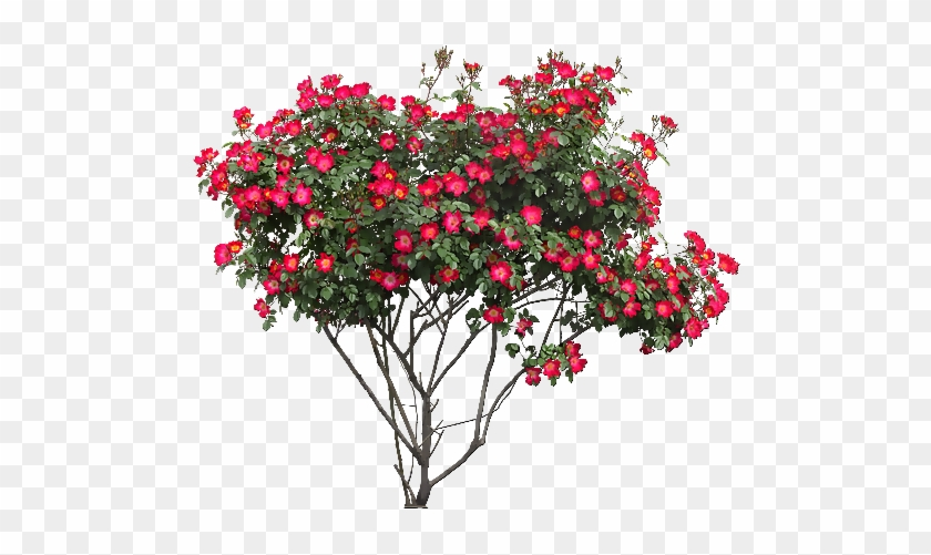 Tubes Arbres / Arbustes / Feuillages - Rose Bush Png #350464