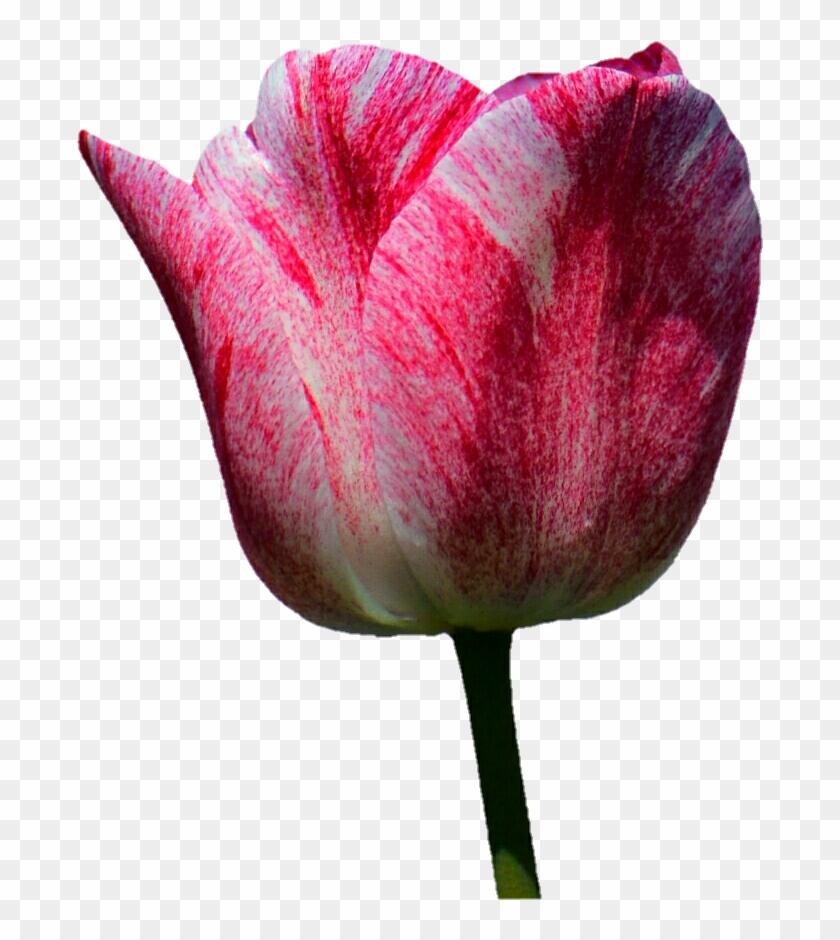 Glittery Pink Tulip By Jeanicebartzen27 - Stock Photography #350470