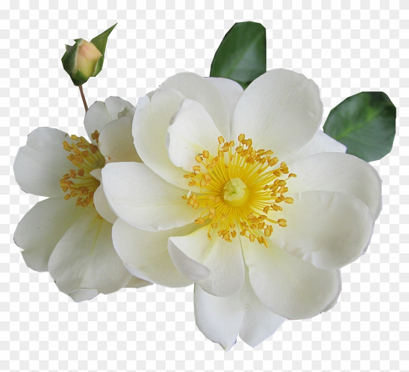 White Rose Png Transparent Images White Yellow Flower Transparent