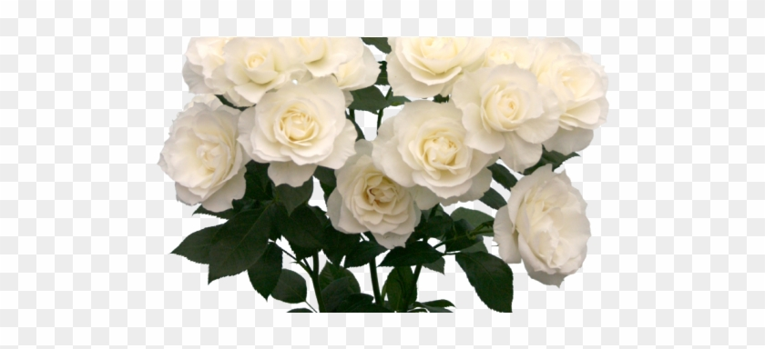 Welcome to the garden of death white roses tumblr png free welcome to the garden of death white roses tumblr png mightylinksfo