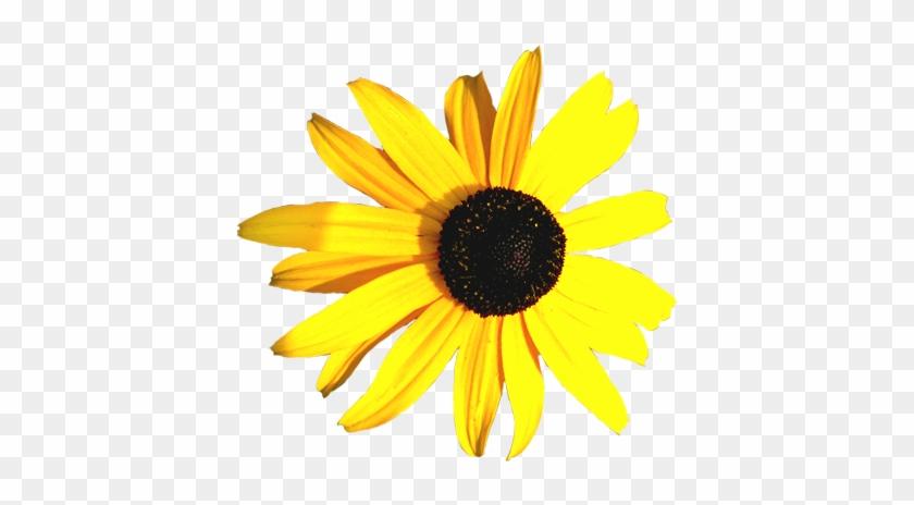 Hibiscus Flower Clip Art Coneflower Yellow Yellow And Black
