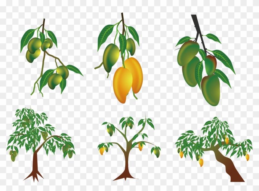 Mango Euclidean Vector Clip Art - Planta De Mango Dibujo #382012