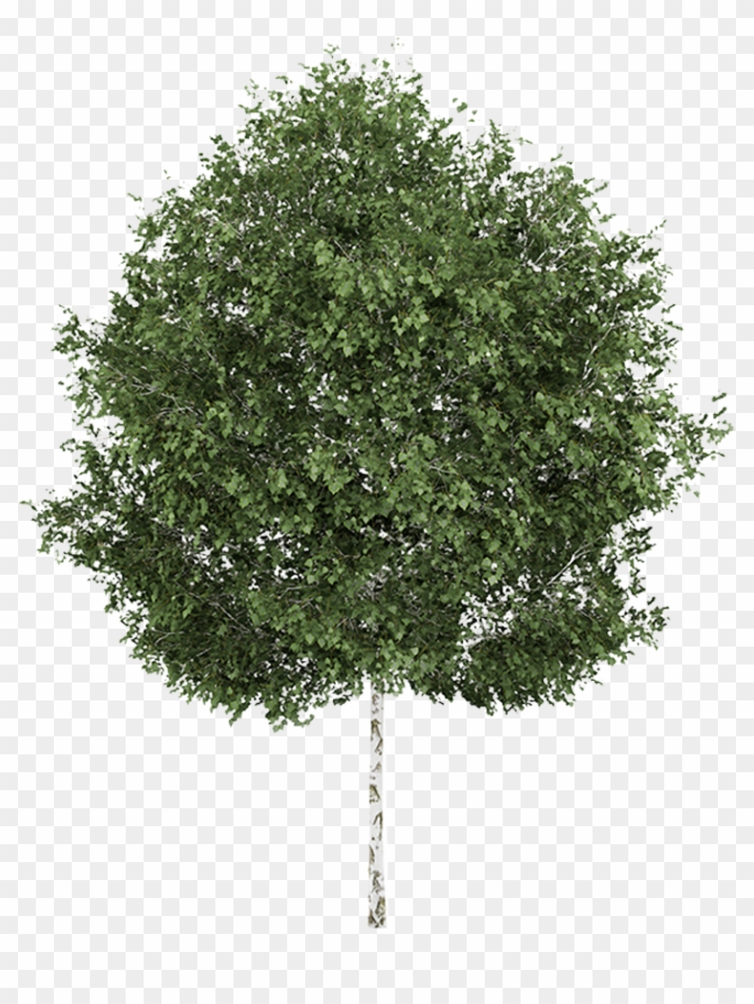 Silver Birch Weeping Willow Betula Alleghaniensis Tree - Silver Birch Tree Png #382994