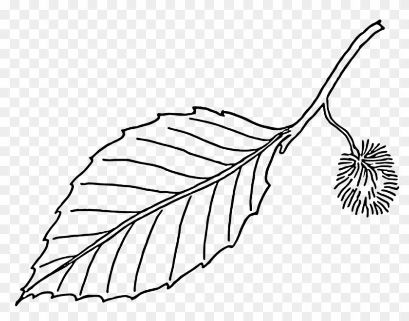 Large Leaf Template - Beech Leaf Outline #384799