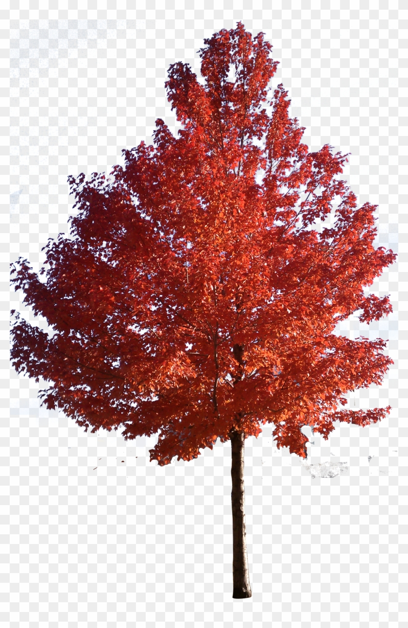 Red Maple Tree Clipart Png - Japanese Maple Tree Png #388947