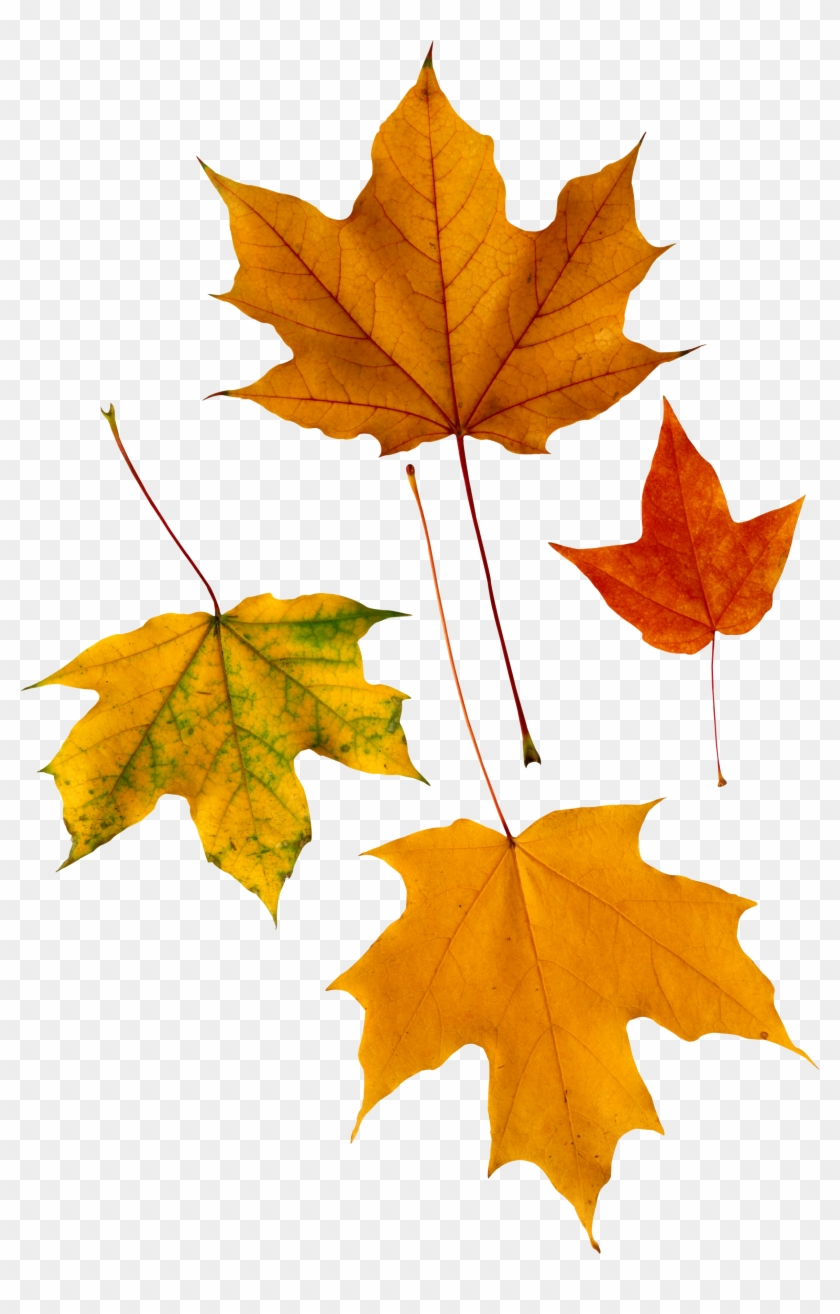 Autumn Png Leaf - Maple Leaves #388971
