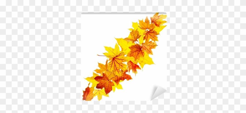 Falling Autumn Maple Leaves Isolated On White Background - Maple Leaf #390444