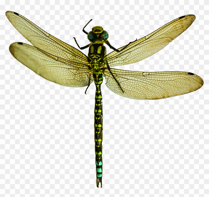 Dragonfly Png - Dragonfly Png #390716