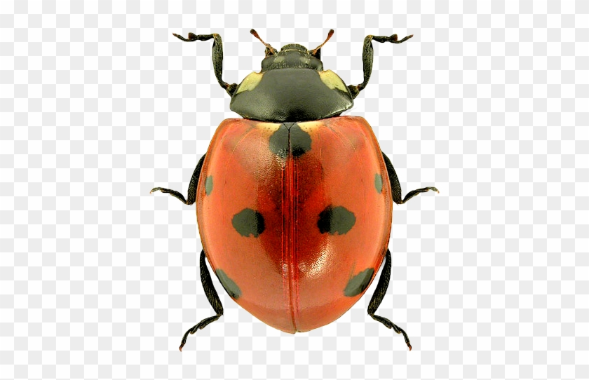 Ladybug Png Image - Insects Png #395119