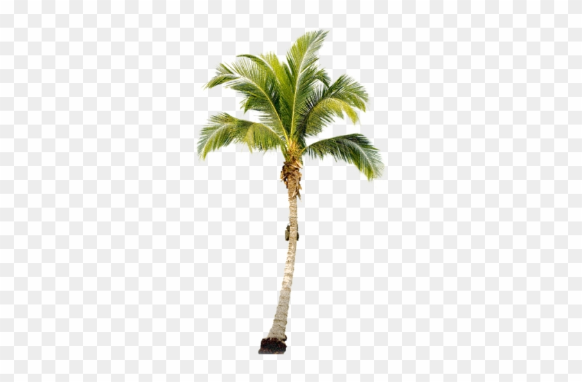 Tropical Palm Tree Png - Palm Png #397220