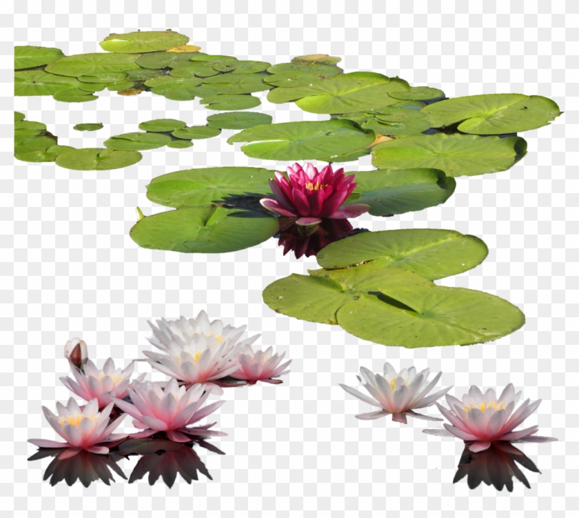 Lily Clipart Aquatic Plant - Water Lily Transparent #404174