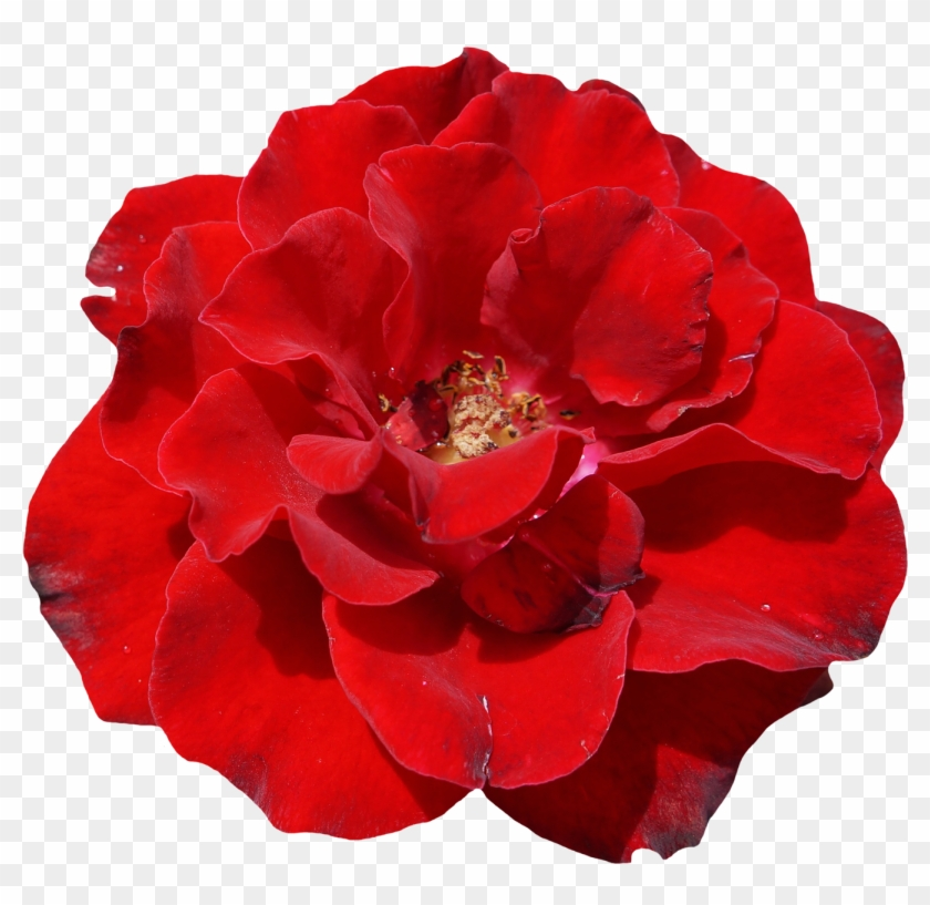 Rose, Red, Blossom, Bloom, Flower, Garden, Beautiful - Schöne Rote Rose, Elegante, Wedding Einladung #406246