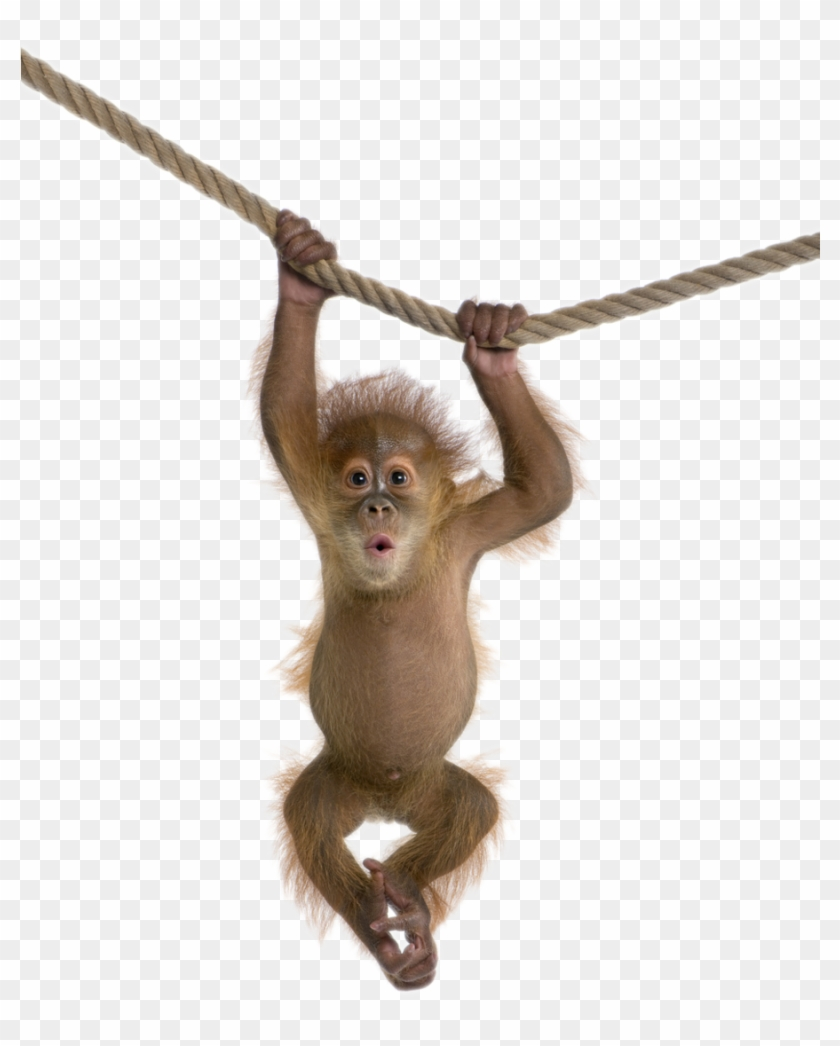 Monkey Baby Png File - Animal And White Background #406290