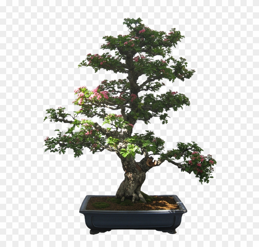 Bonsai Cliparts 9, Buy Clip Art - Bonsai Tree Bonsai Silhouette #406403