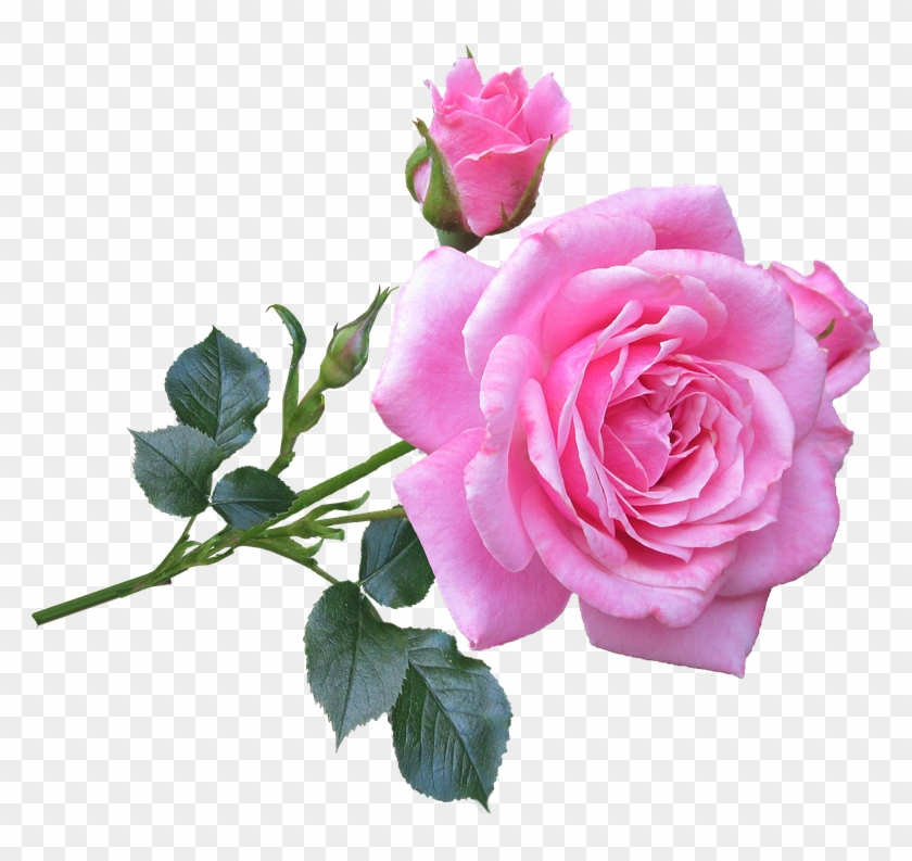 Picture Of A Pink Rose Good Morning Gif New Rose Free