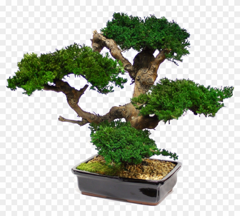 Zona Gallery - Large Bonsai Tree Preserved Forever Green Art - Mbo #407519