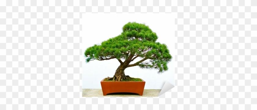 Bonsai Pine Tree Greeting Card #407534
